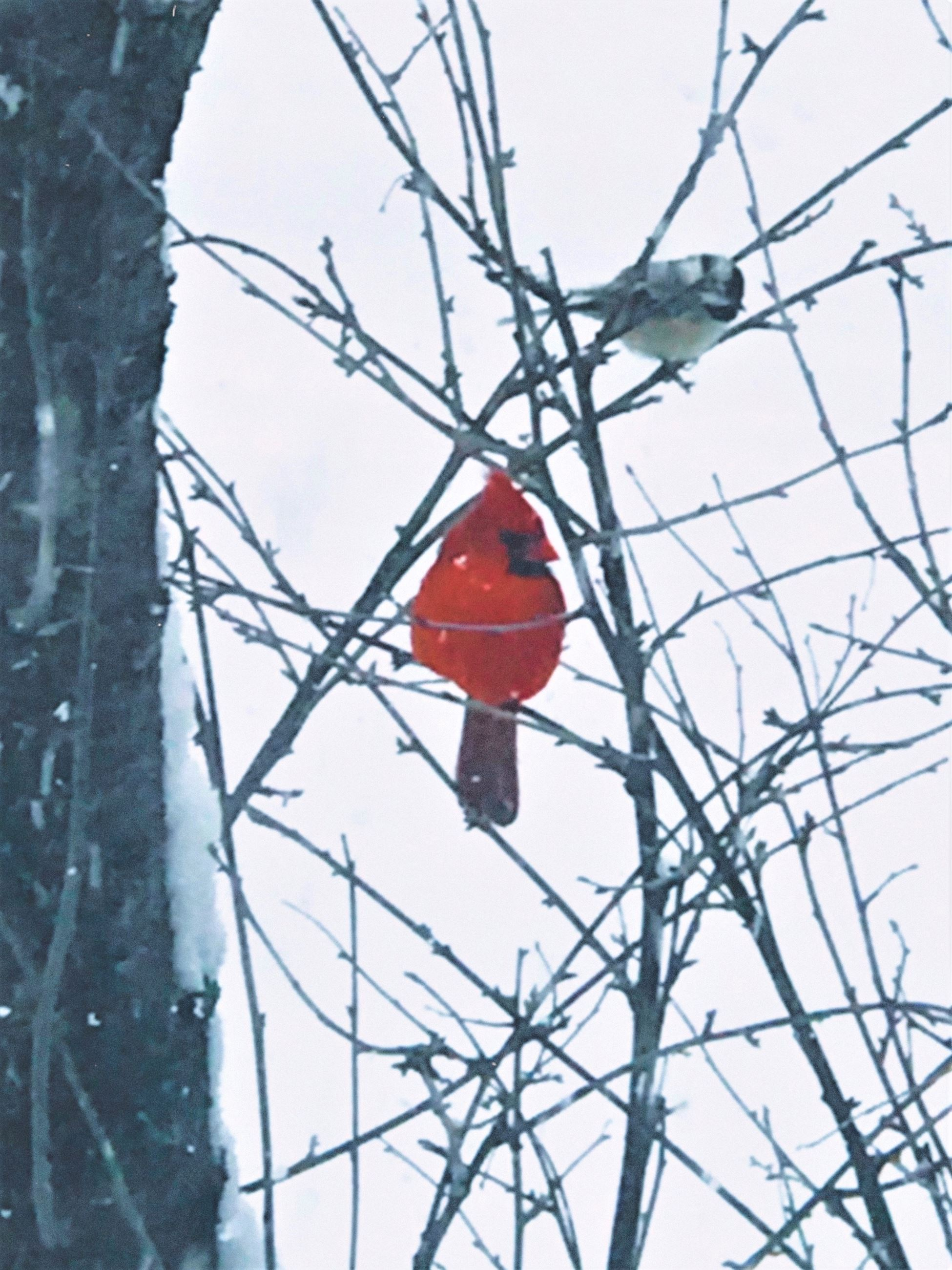 PHOTOVOICE - Cardinal in Tree
